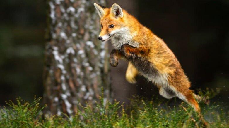 лиса fox