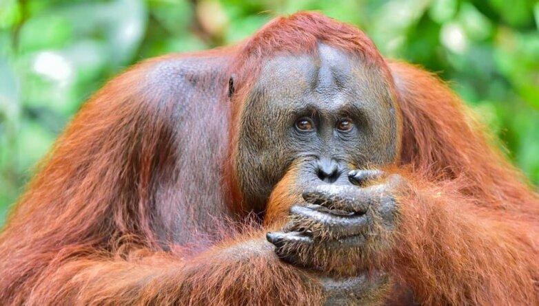 Орангутан обезьяна