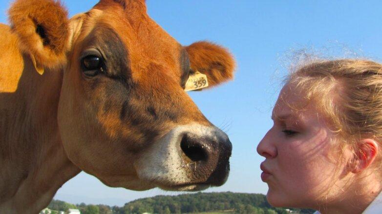 Поцелуй с коровой