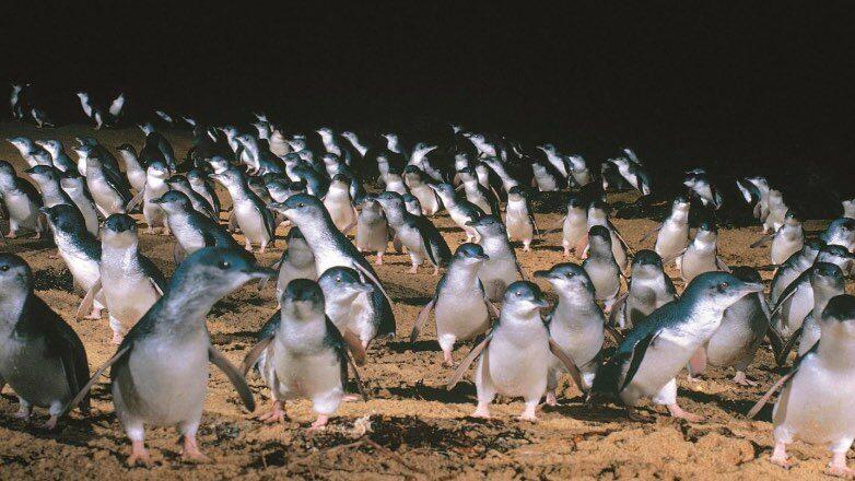 """""""Парад пингвинов"""" на острове Филиппа в Австралии"""