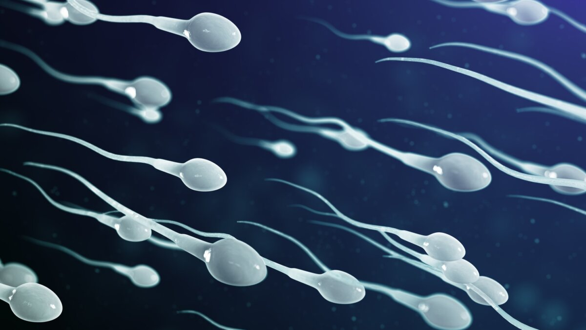 сперматозоидs
