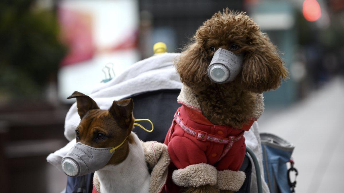 Собаки в масках от коронавируса