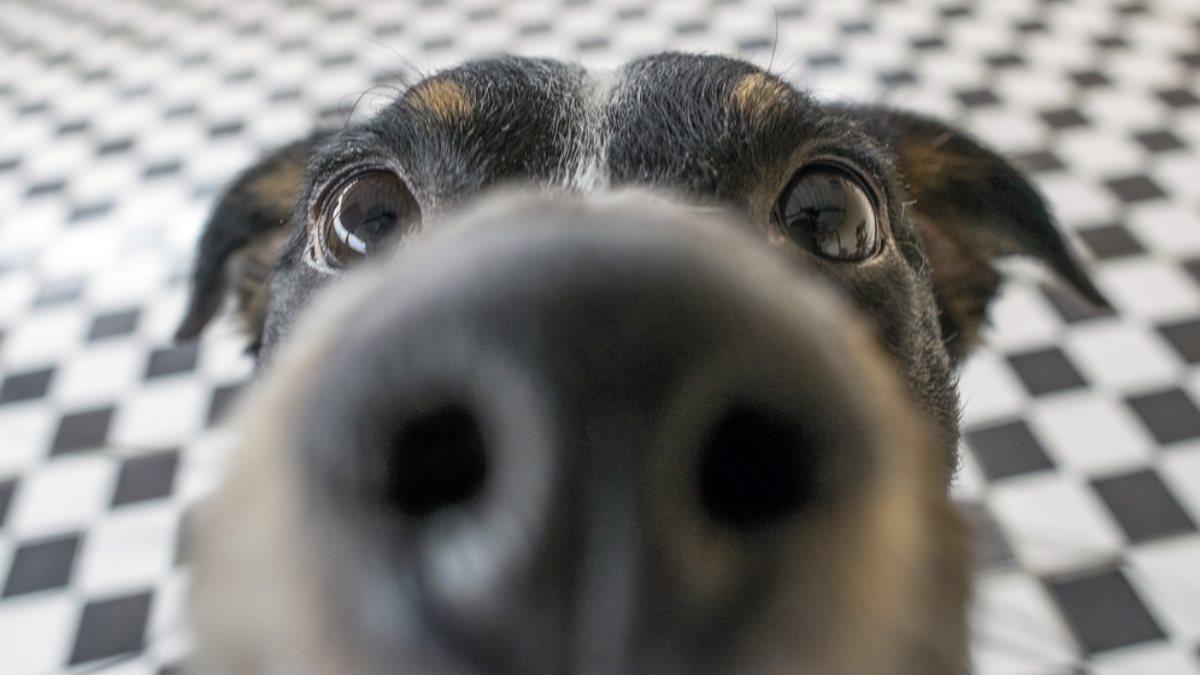 Собака собачий нюх нос один