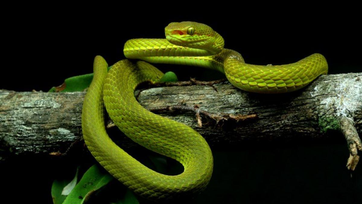 Змея гадюка Trimeresurus salazar