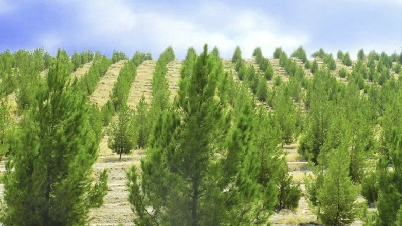 лесопосадки молодой лес сосны