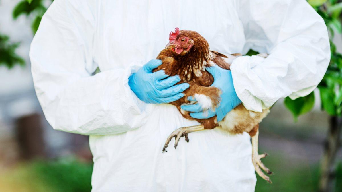 птичий грипп курица вирус пандемия