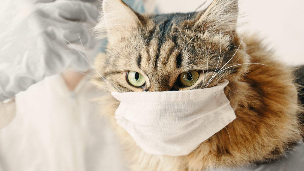 Кошка в маске коронавирус