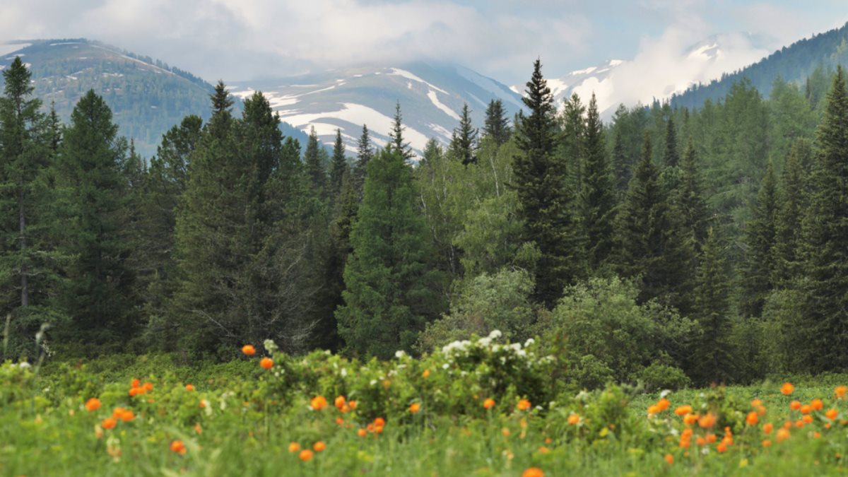 Алтай тайга Сибирь лес