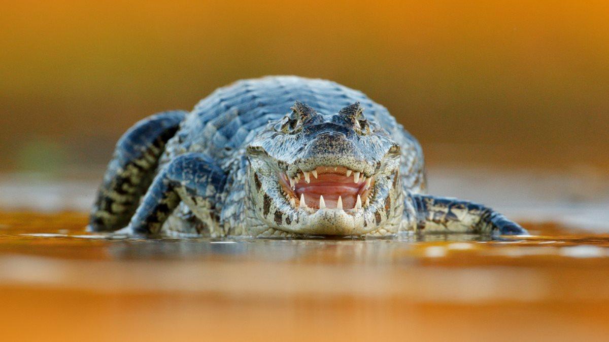 Крокодил один