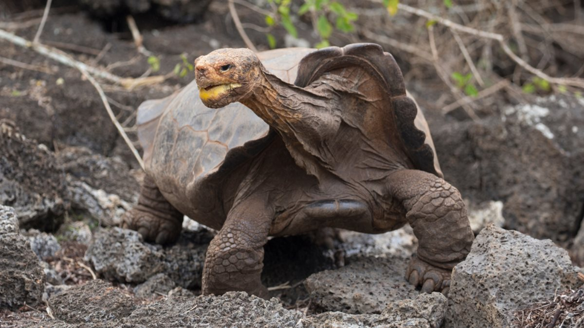 Самец гигантской галапагосской черепахи по кличке Диего