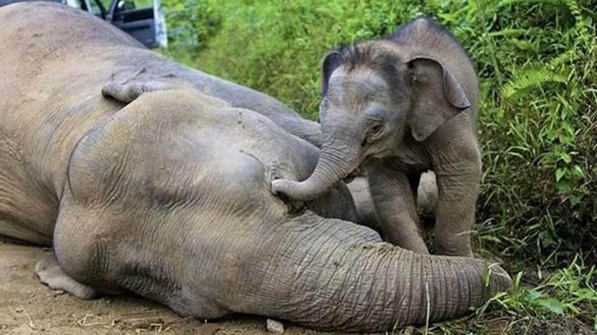 погибший слон со слоненком