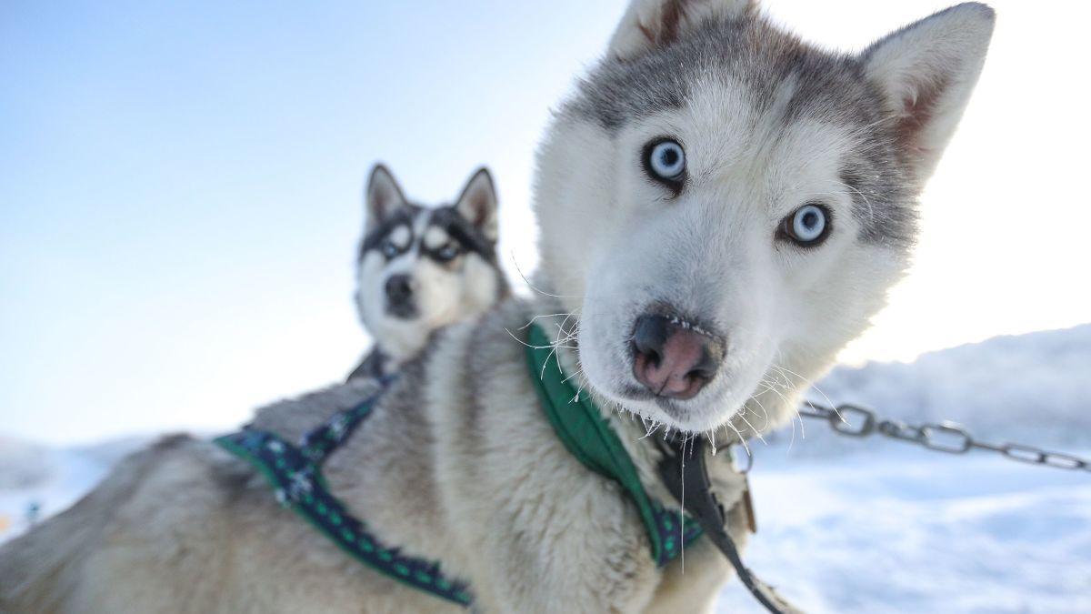 здоровые собаки - хаски