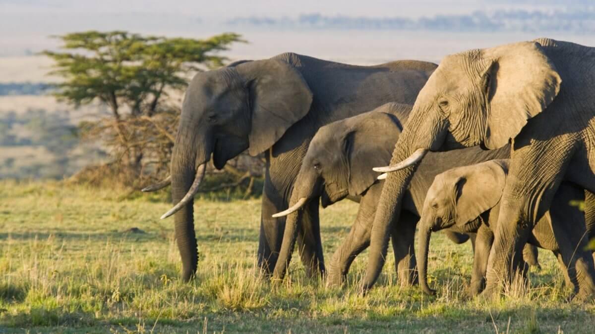 Африканские слоны один