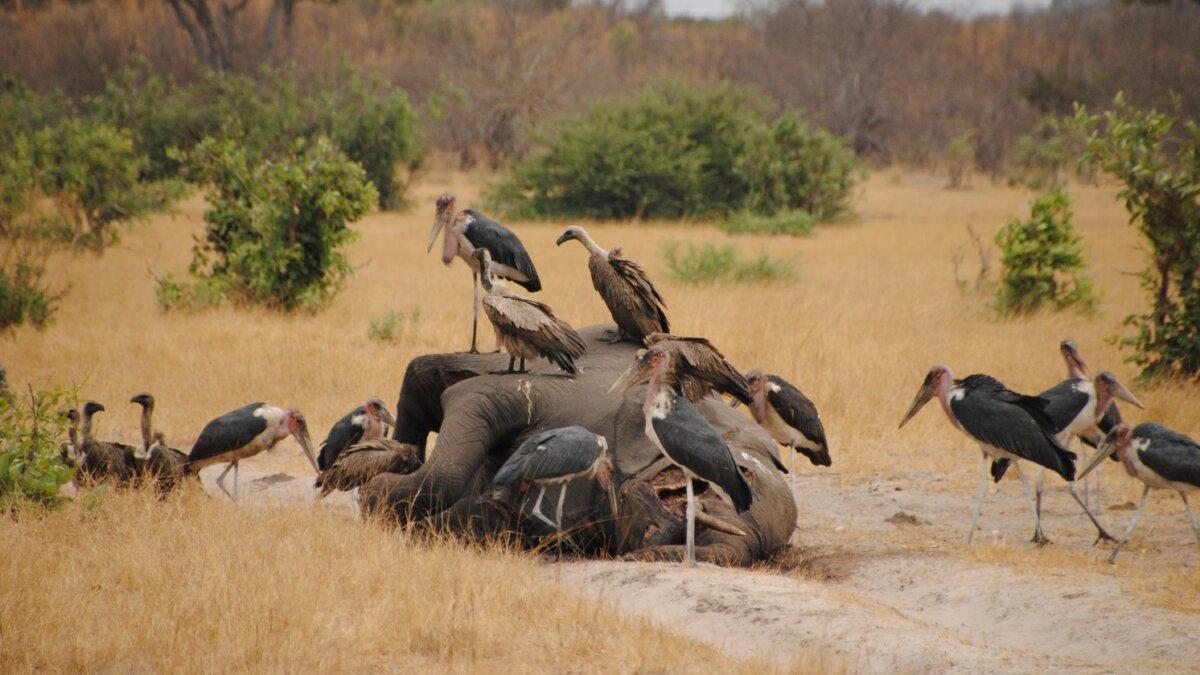 смерть слонов