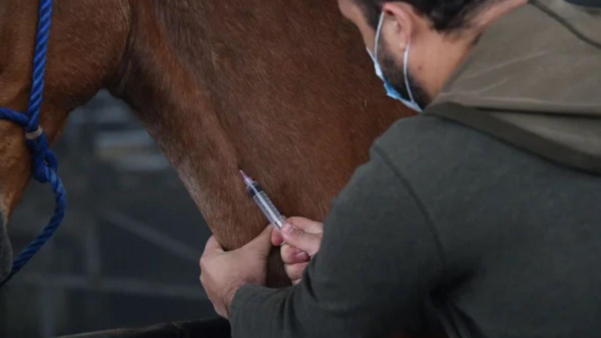 Исследователь берет кровь у лошади