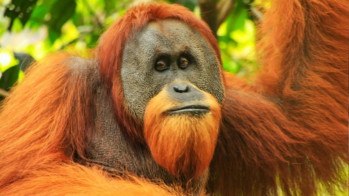 Суматранский орангутан обезьяна