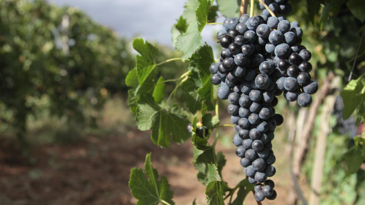 Виноградник вино лоза близко