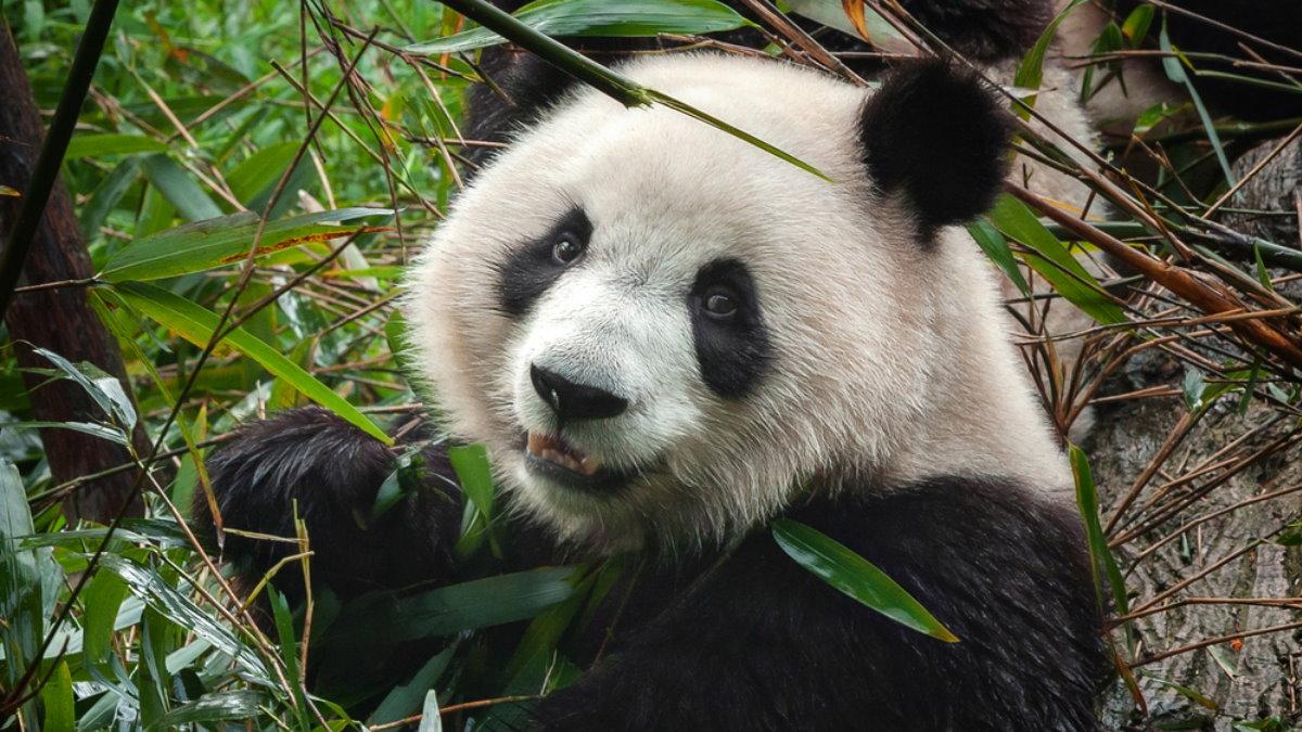 Панда близко