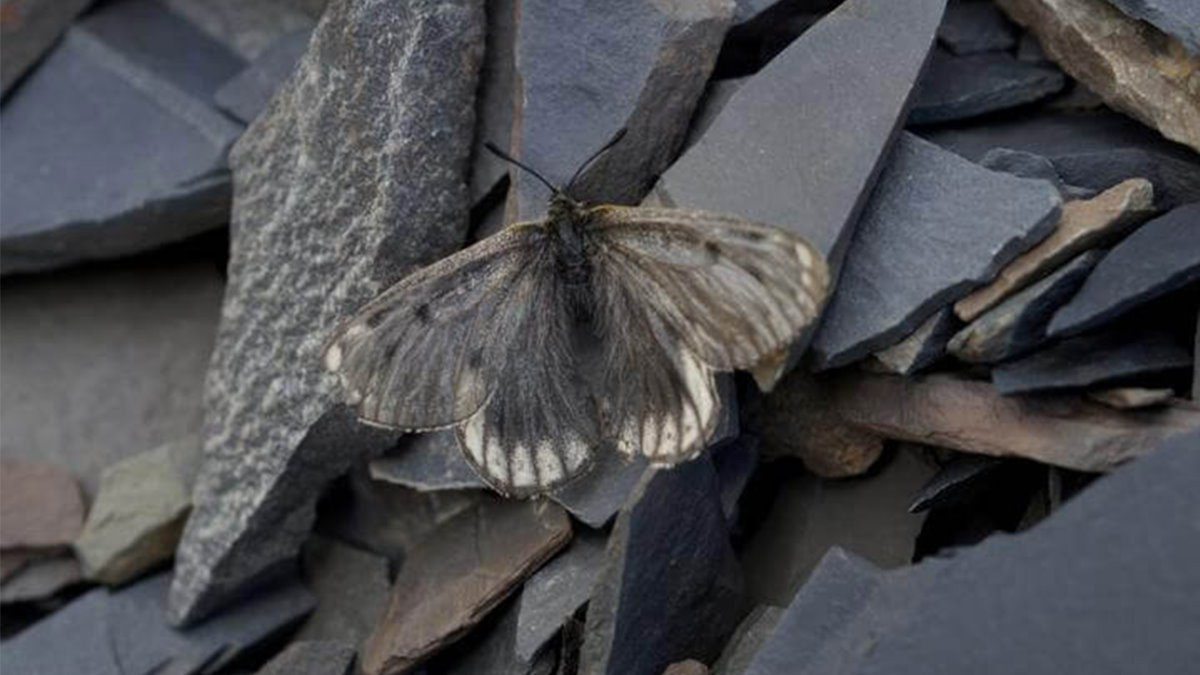 Арктическая бабочка Parnassius arcticus arbugaevi