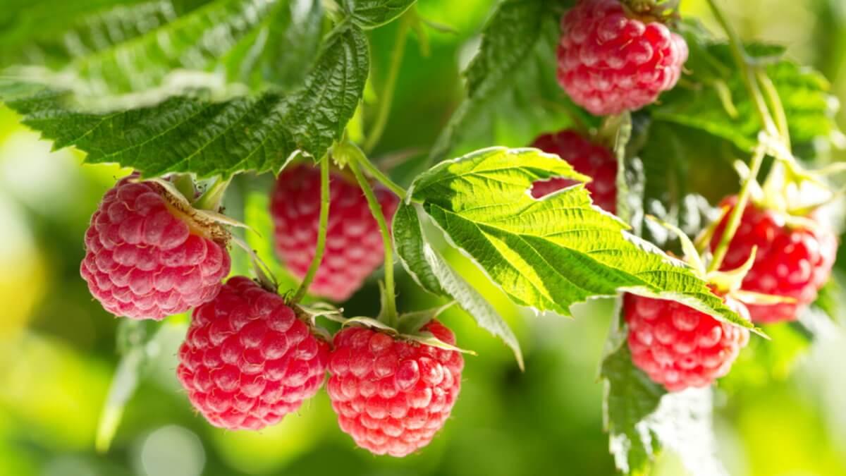 Спелая малина ягода