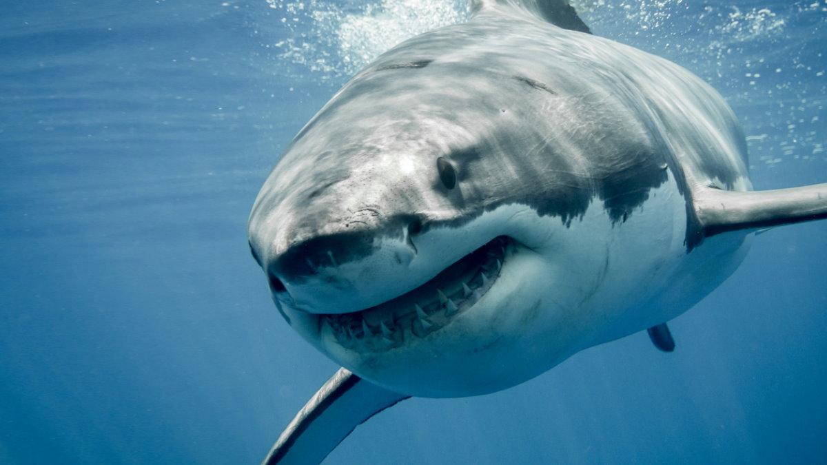 Большая белая акула один