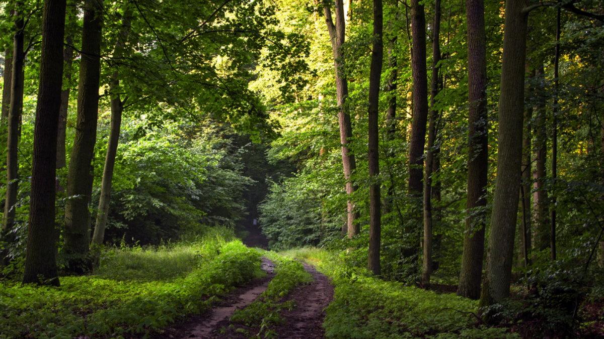 Густой дубовый лес