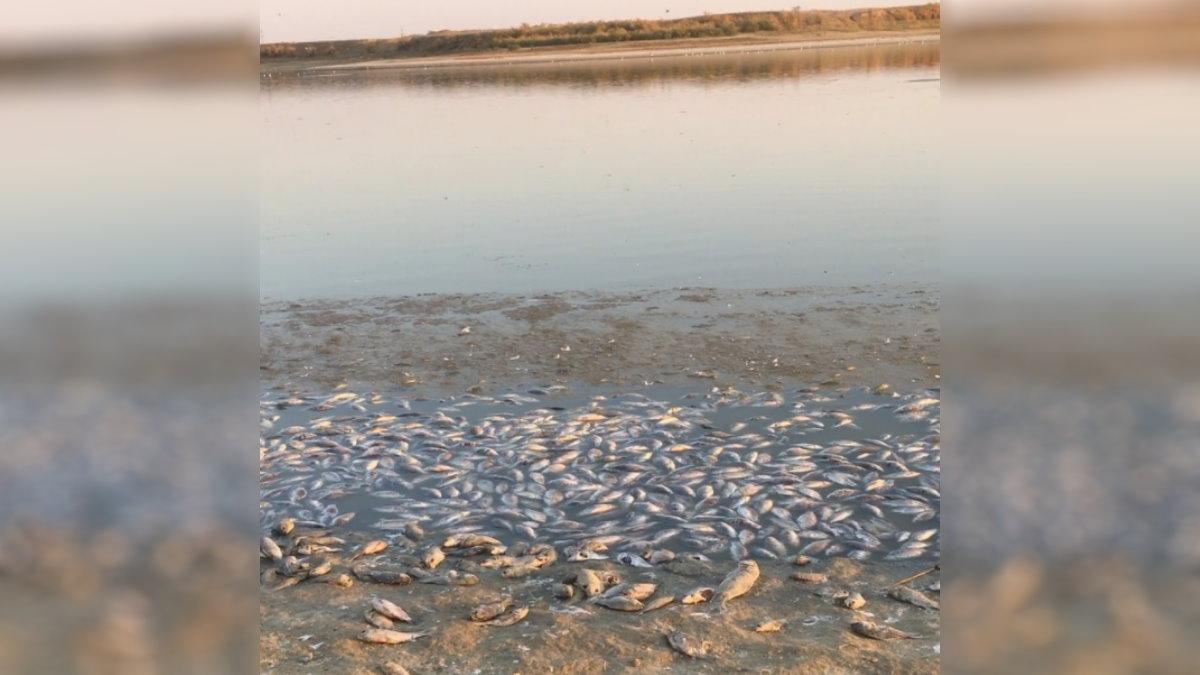 Тысячи мёртвых рыб на берегу российского водохранилища