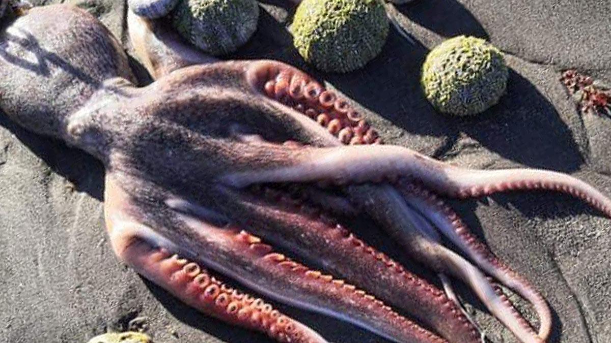 мертвый осьминог морские ежи