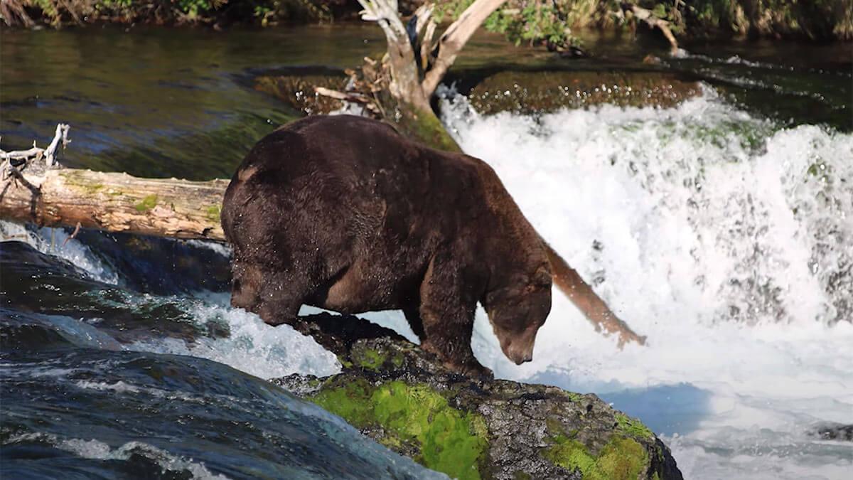 толстый бурый медведь