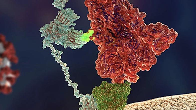 Шип SARS-CoV-2 (красный) прикрепляется к нейропилину (голубой)