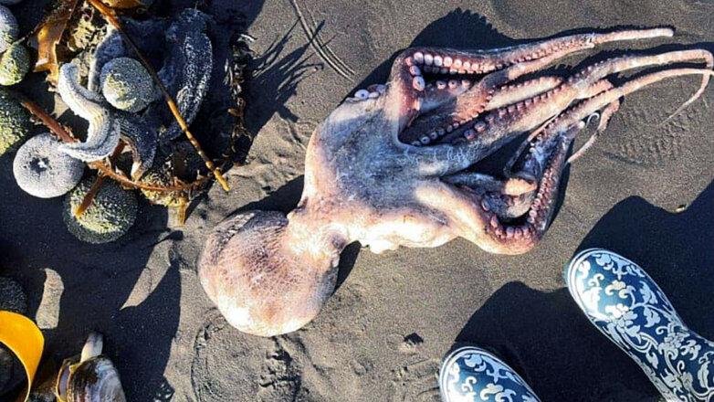 мертвый осьминог Камчатка