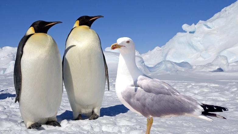 пингвины и чайка
