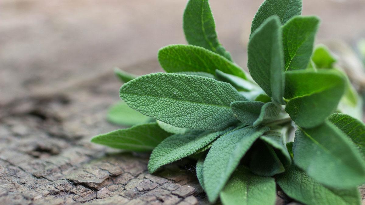 шалфей растение лекарственная трава