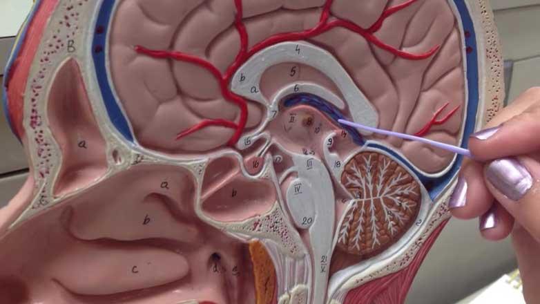 загадочный орган структура трубчатых желез голова