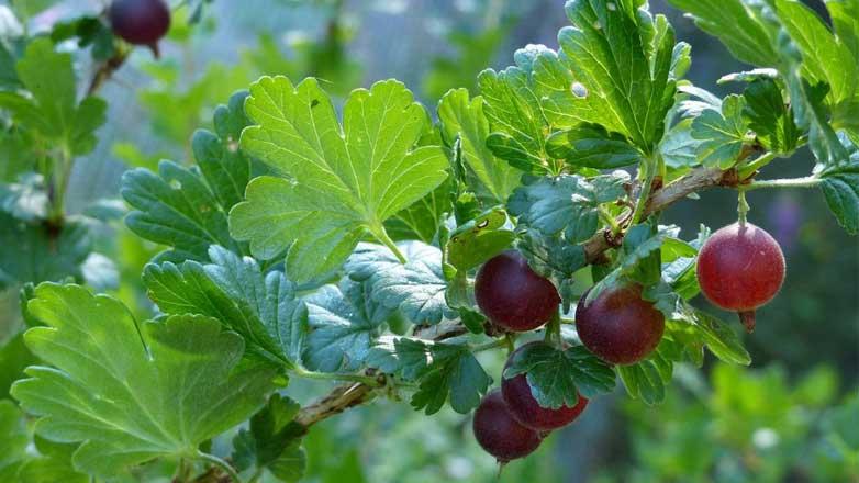 Ceylon gooseberry