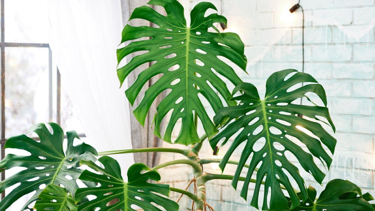 Монстера комнатное домашнее растение