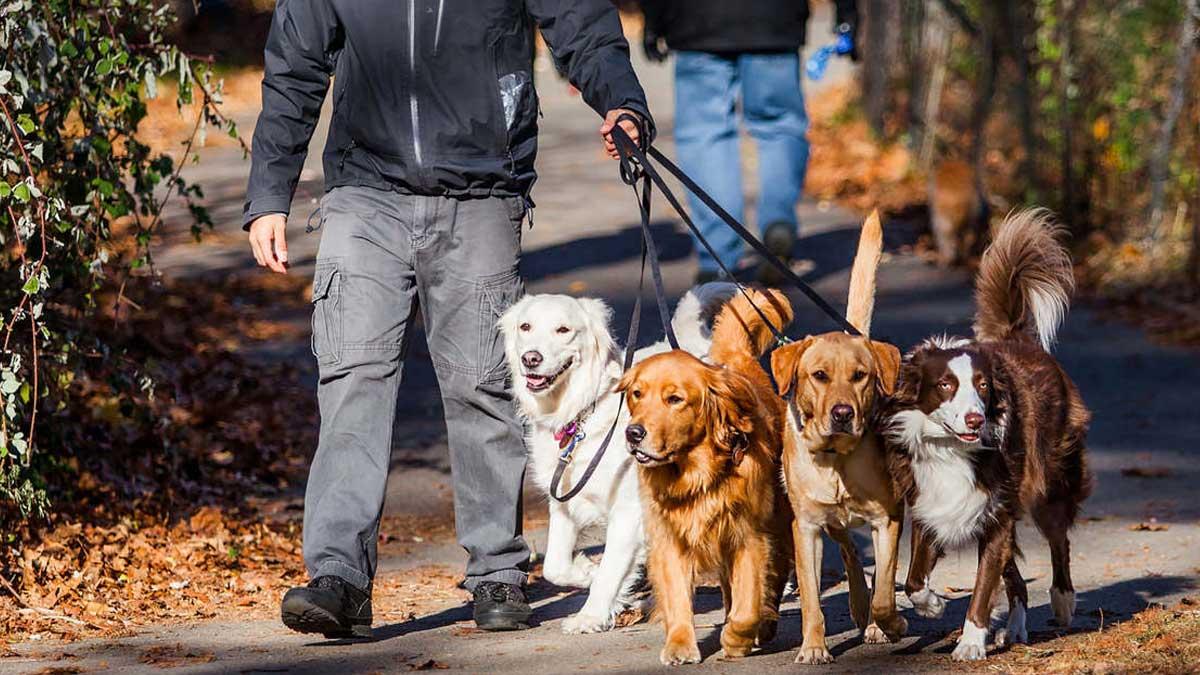 Мужчина выгуливает собак dog walking