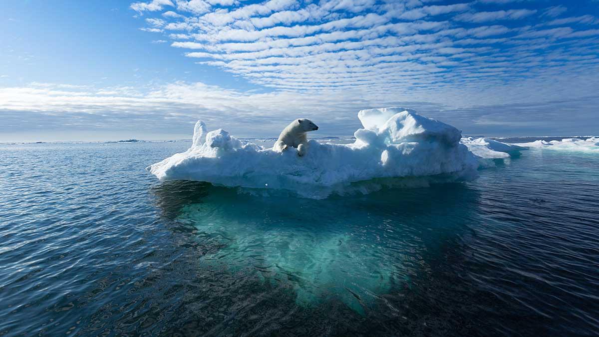 таяние ледников медведь на льдине холод