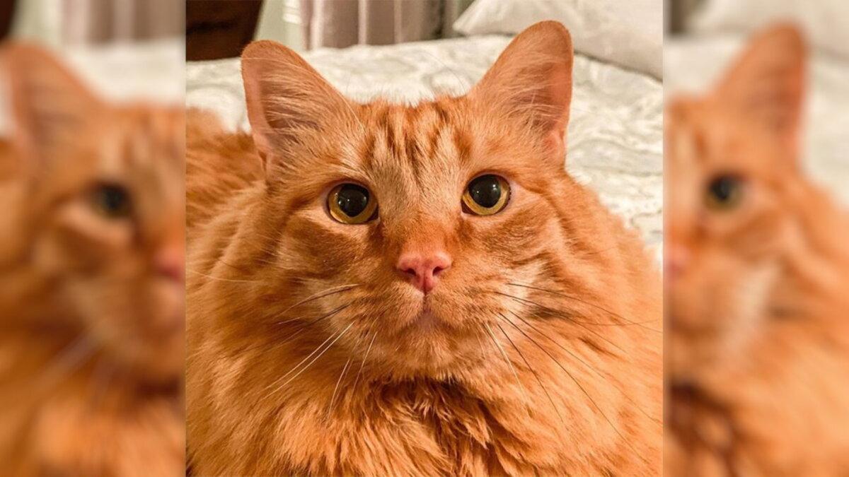 В Сети нашли кота с внешностью и повадками мультяшного Гарфилда
