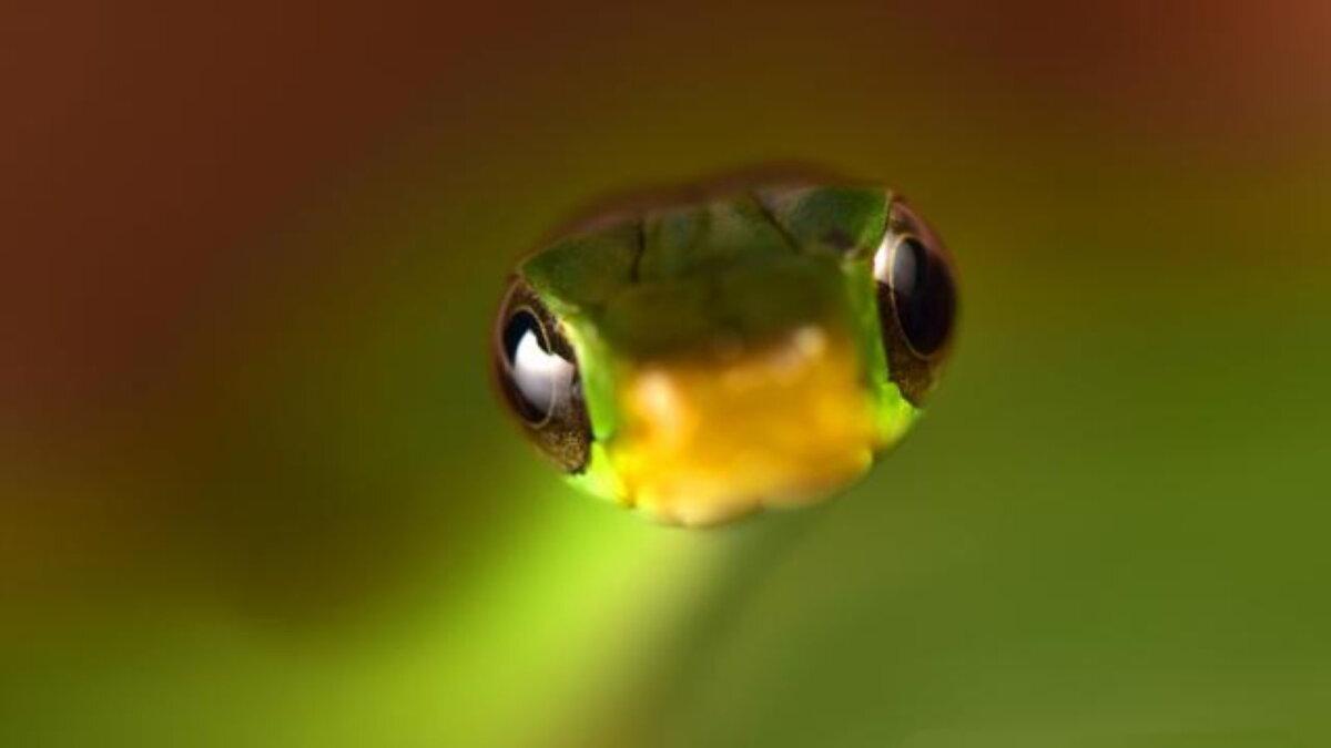 Змея Chironius scurrulus найденная в Боливии