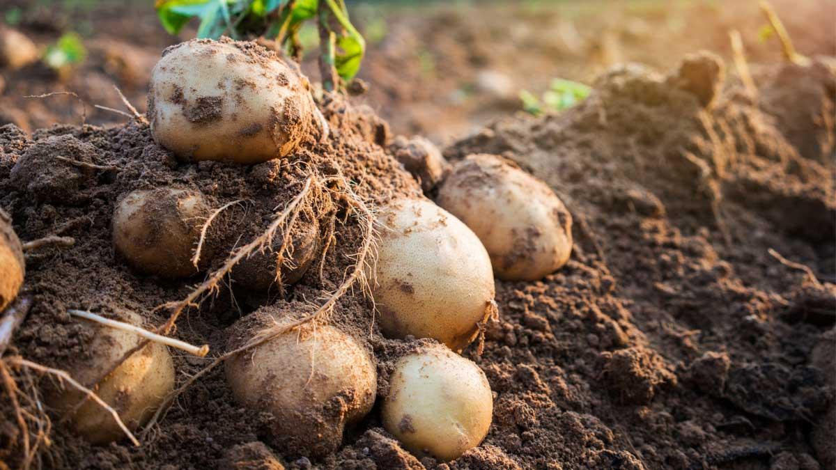 Картофель клубни potato