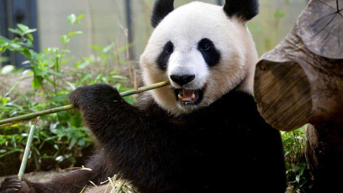 Панда зоопарк сидит кушает