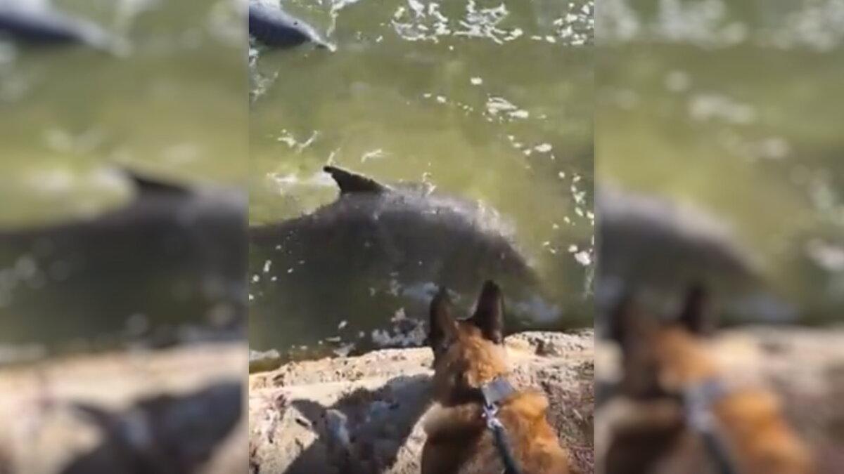 Полицейская собака подружилась с парой дельфинов