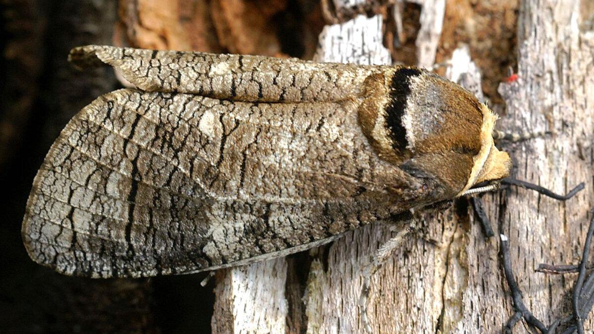 бабочка дровоточца насекомые