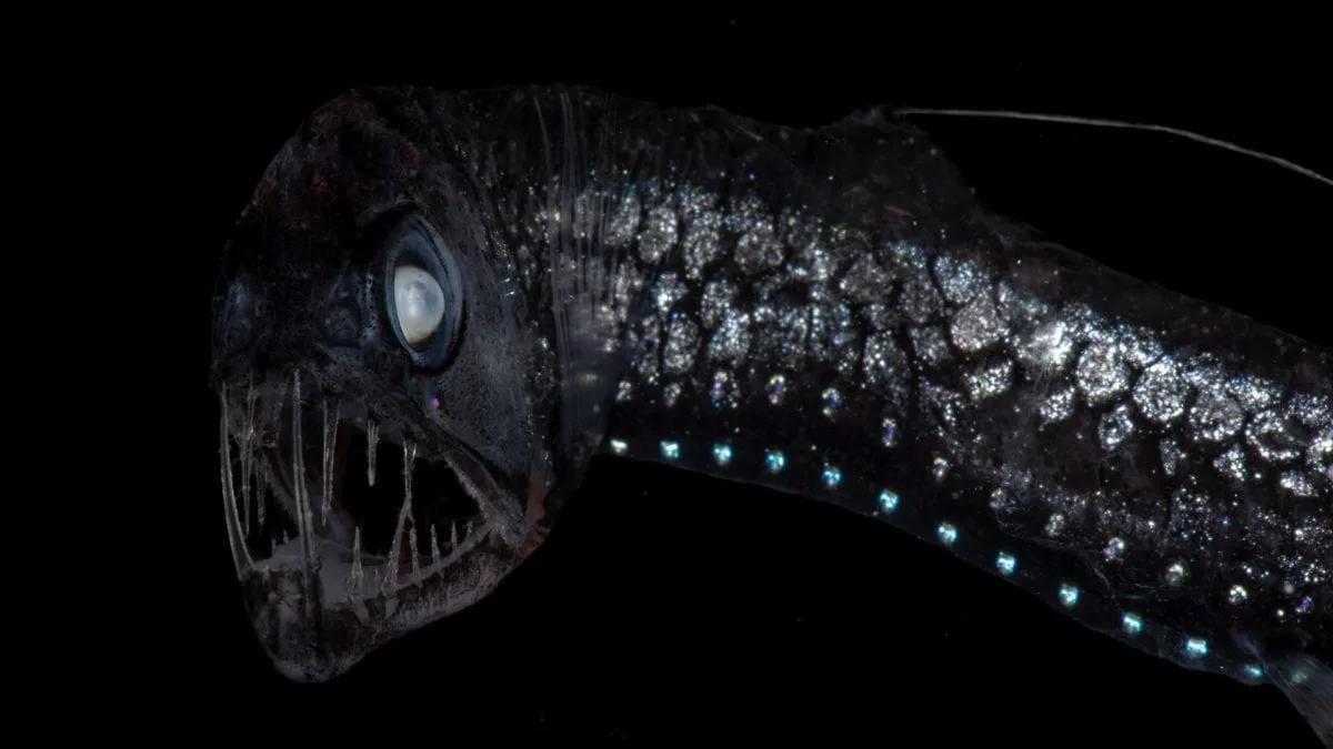 Тихоокеанский черный дракон (Idiacanthus antrostomus)