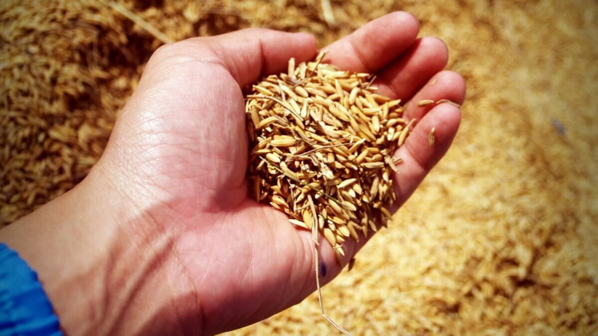пшеница в руке