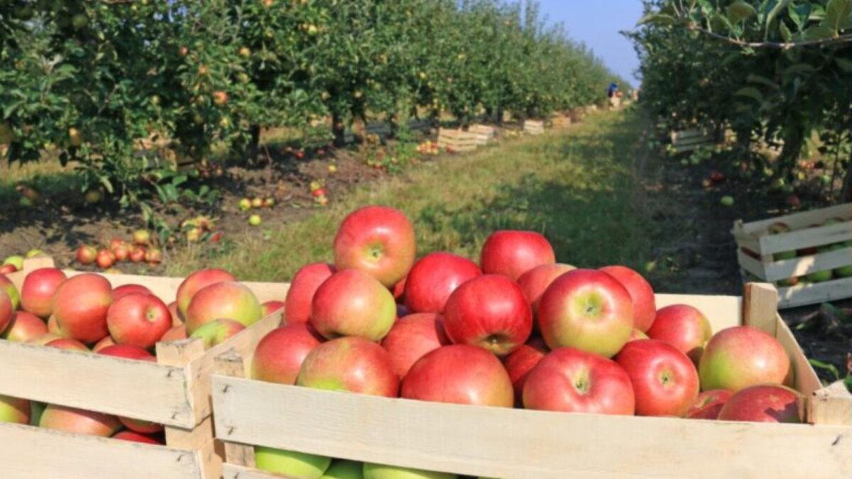 Яблоневый сад яблоки фрукты урожай один