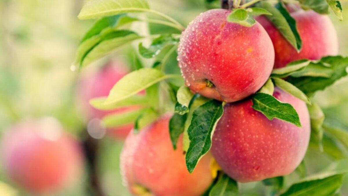 Яблоня яблоки