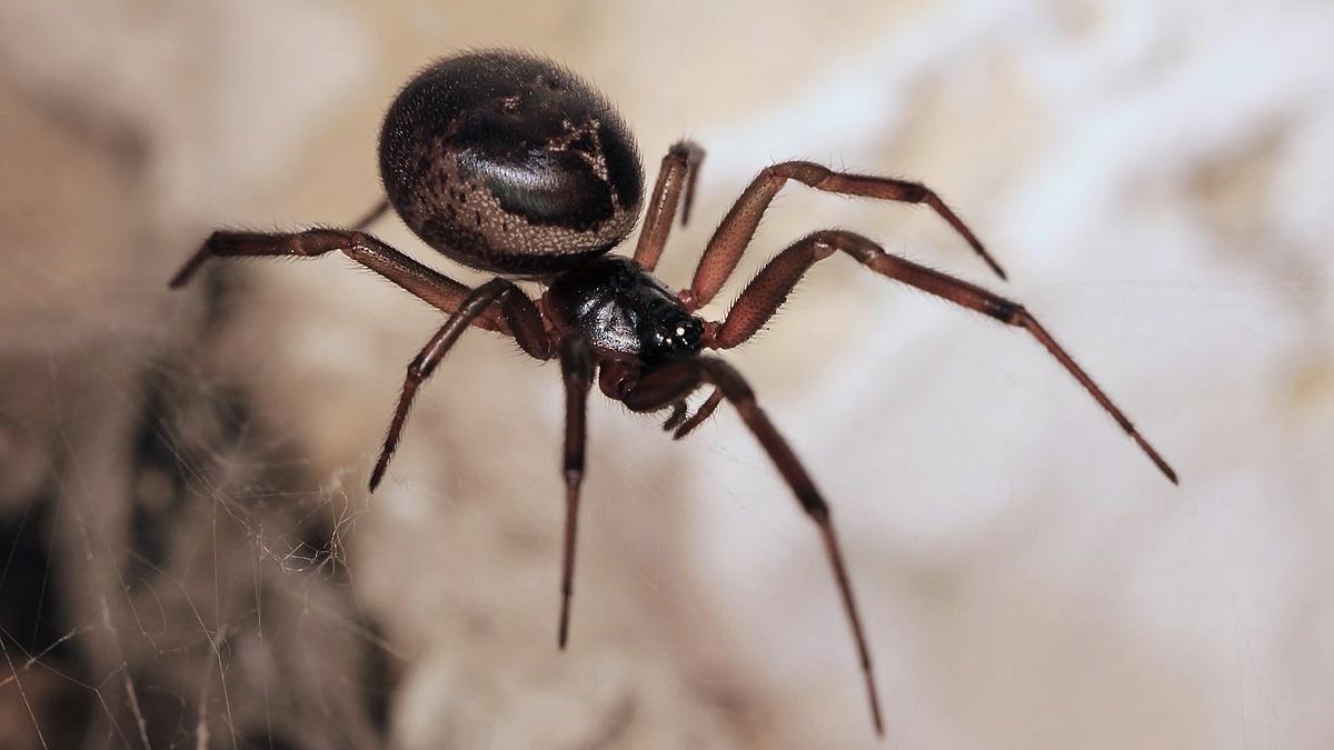 ядовитый паук Steatoda nobilis Ложная вдова
