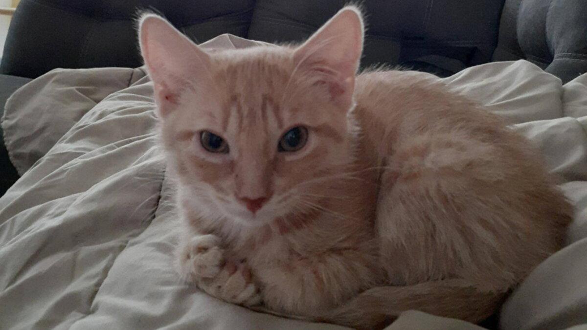 Котёнок Ален с семью подушечками на лапах